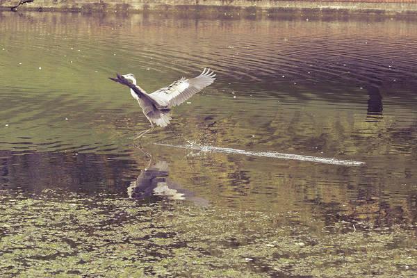Photograph - Heron In Public Park G by Jacek Wojnarowski