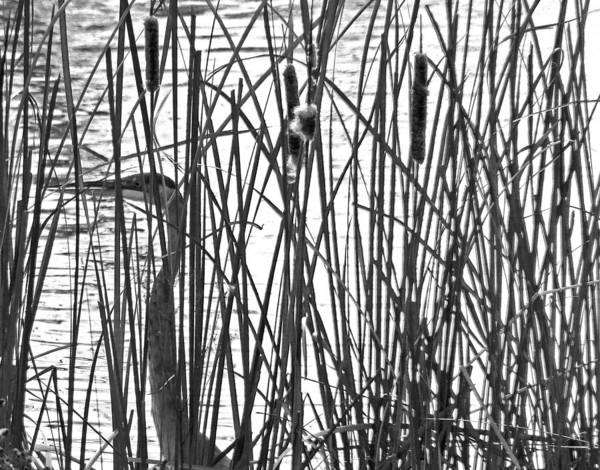 Photograph - Heron In The Grass In Bw by Jennifer Robin