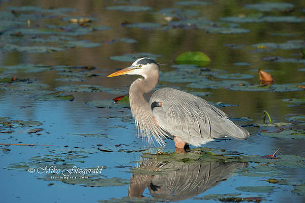 Photograph - Heron In The Morning by Mike Fitzgerald