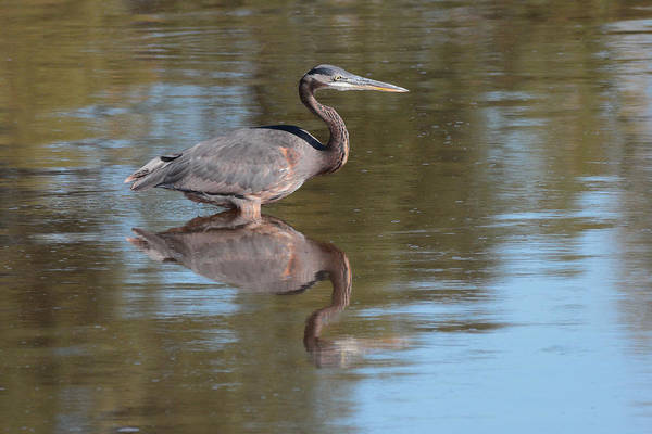 Photograph - Heron by John Moyer