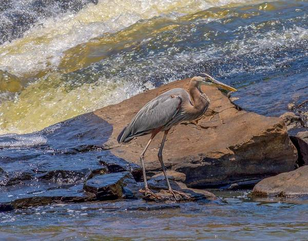 Photograph - Heron by Keith Smith