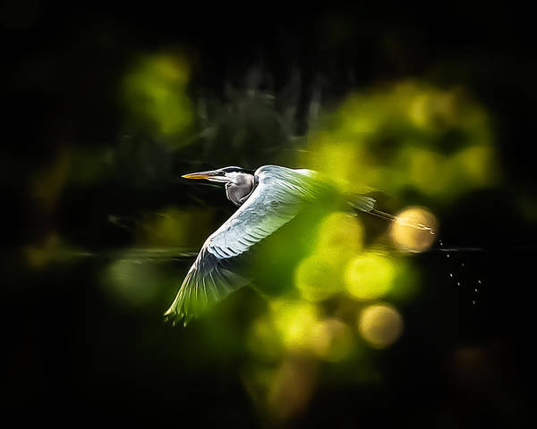 Photograph - Heron Launch by Jim Proctor