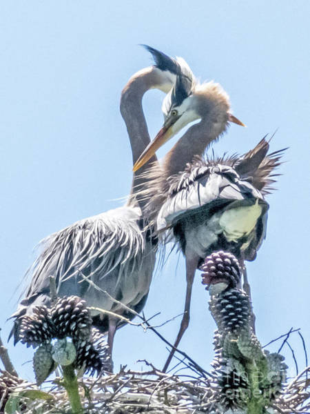 Photograph - Heron Meetup by Kate Brown