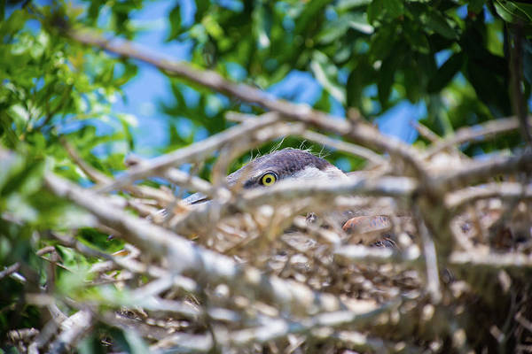 Photograph - Heron Nest by Dillon Kalkhurst