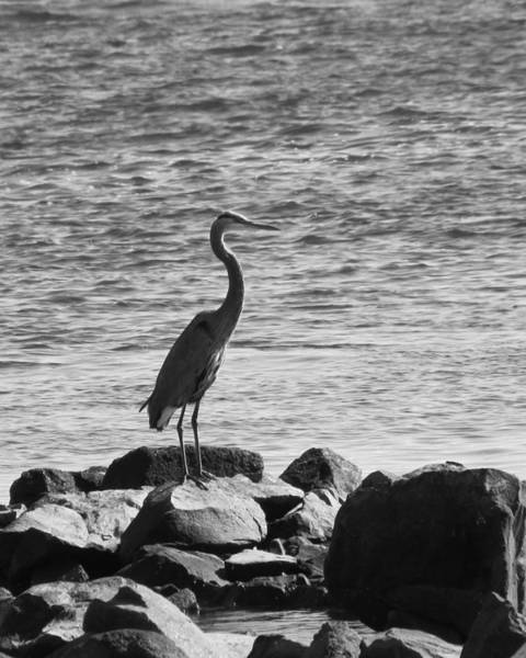 Photograph - Heron On The Rocks by William Selander