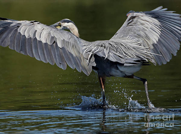 Photograph - Heron On The Run by Sue Harper