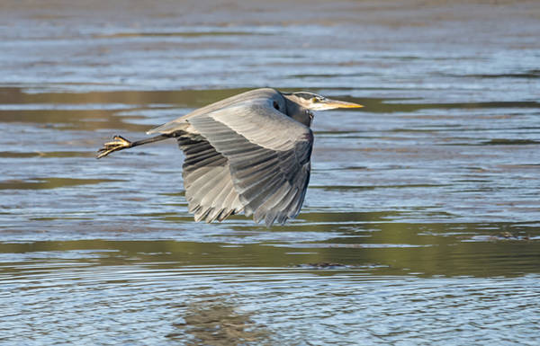 Photograph - Heron Over The River by Loree Johnson
