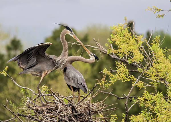 Wall Art - Photograph - Heron Pair In Nest by Dawn Key
