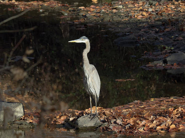 Photograph - Heron  by Paul Ross