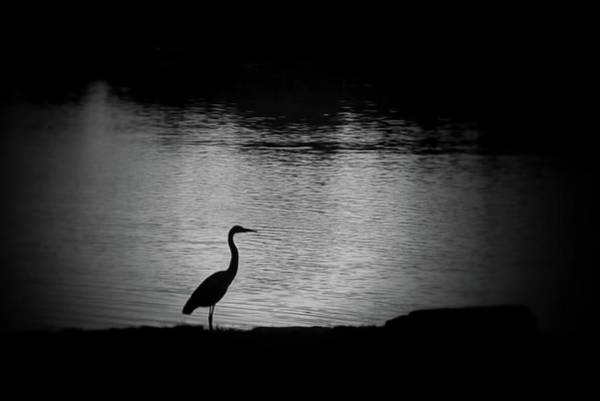 Photograph - Heron by Phyllis Meinke