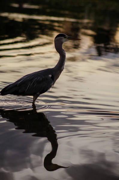 Photograph - Heron Sunset by Miguel Winterpacht