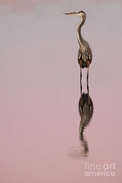 Wall Art - Photograph - Heron Sunset Reflections by Max Allen