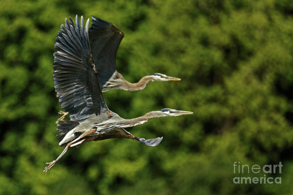 Painting - Heron Take Flight by Sue Harper