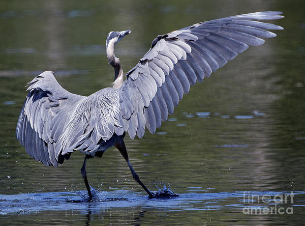Photograph - Heron - The Slide by Sue Harper