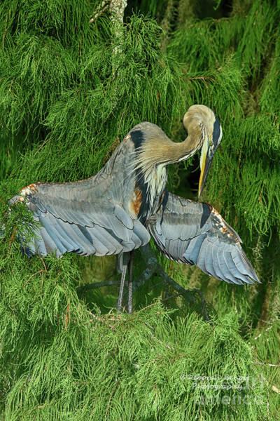 Photograph - Heron Wing Pose by Deborah Benoit