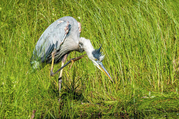 Wall Art - Photograph - Heron With An Itch by Paul Freidlund