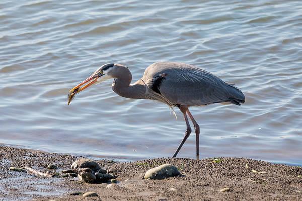 Photograph - Heron With Fish by Loree Johnson