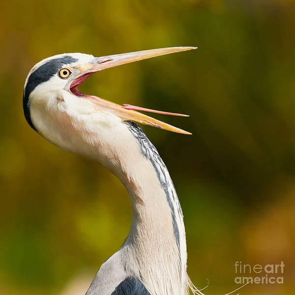 Photograph - Heron With Its Beak Wide Open by Nick  Biemans