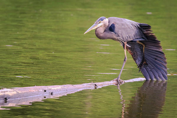 Photograph - Heron Yoga by Windy Corduroy
