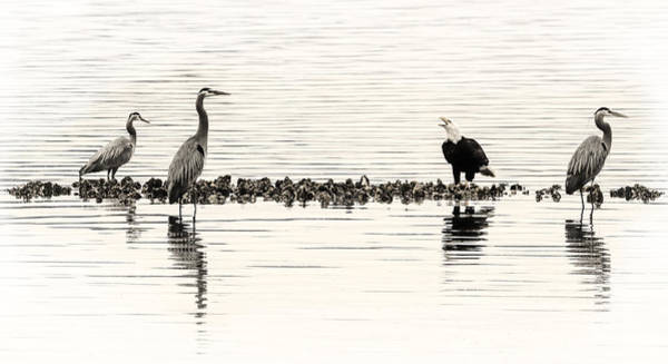 Photograph - Herons And Eagles And Oysters Oh My by Wes and Dotty Weber