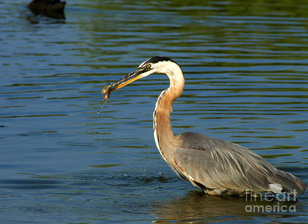 Photograph - Herons Catch by Clayton Bruster
