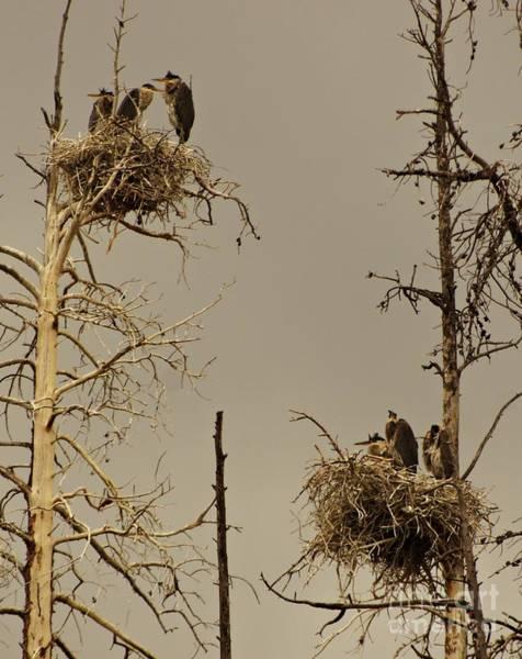 Lake Granby Wall Art - Photograph - Herons Nesting by Luke Froese