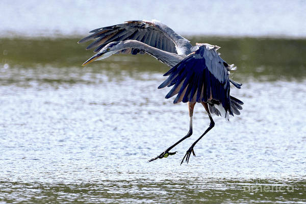 Photograph - Herons Spot Landing by Sue Harper