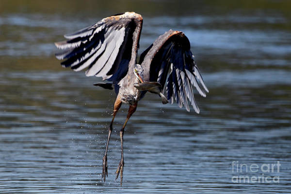 Photograph - Great Blue Heron In Flight With Fish by Sue Harper