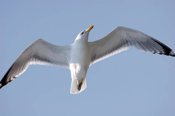 Photograph - Herring Seagull by Jill Lang