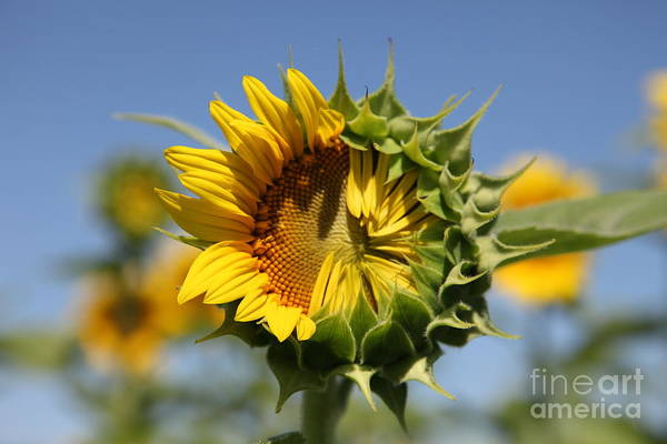 Sunflowers Photograph - Hesitant by Amanda Barcon