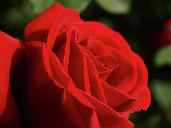Photograph - Hever Castle Red Rose - 1 by Jeffrey Peterson