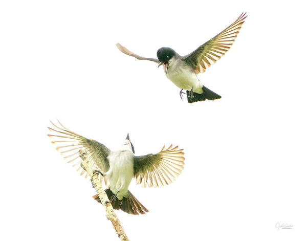 Photograph - Flirting Kingbirds by Judi Dressler