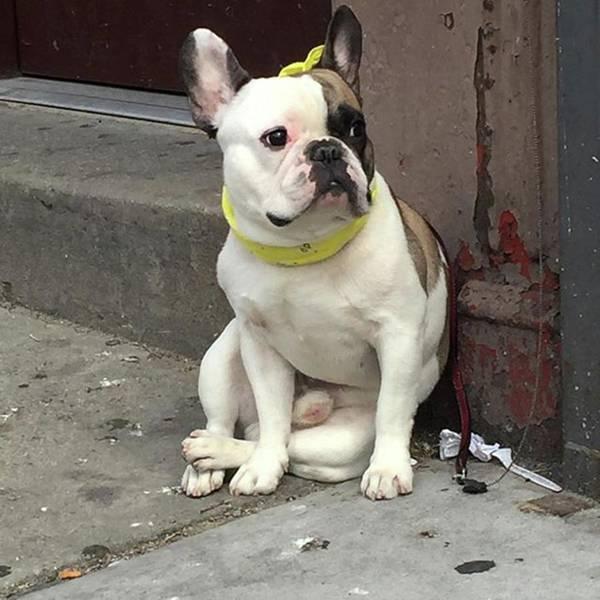 Wall Art - Photograph - Hey, #bulldog! #harlem #nycdogs #nyclife by Gina Callaghan