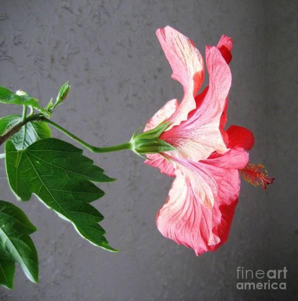 Photograph - Hibiscus #4 by Cindy Schneider
