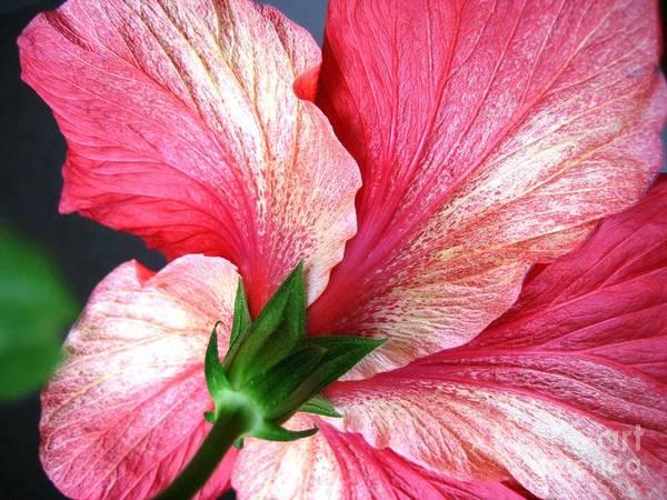 Photograph - Hibiscus #5 by Cindy Schneider