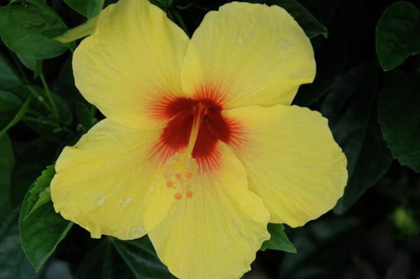 Photograph - Sun Lover Hibiscus by Adele Aron Greenspun