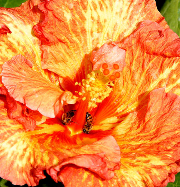 Photograph - Hibiscus And Bees by Anthony Jones