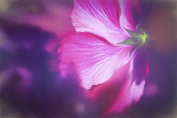 Photograph - Hibiscus In The Light by Kay Brewer