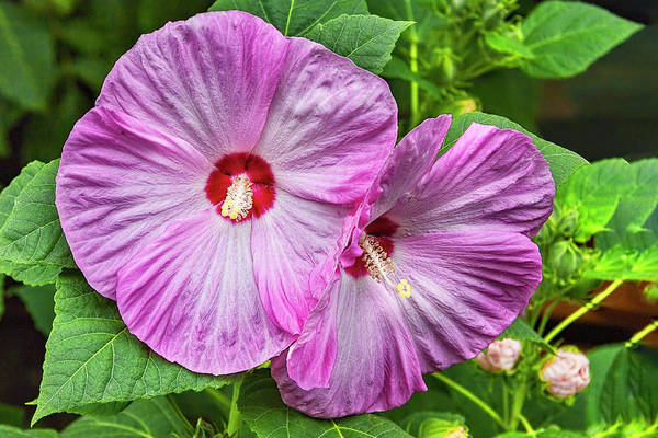 Photograph - Hibiscus Beauty by Kay Brewer