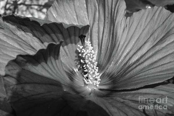 Wall Art - Photograph - Hibiscus Black And White by Megan Cohen