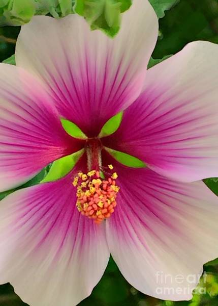 Photograph - Hibiscus Face by Jenny Revitz Soper