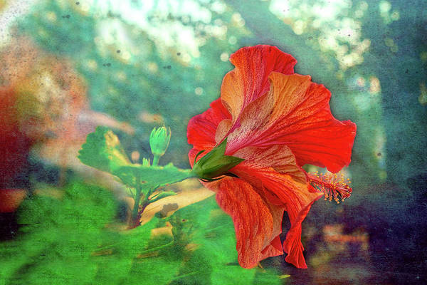 Photograph - Hibiscus Flame by Kay Brewer