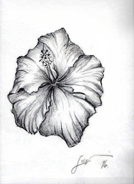 Drawing - Hibiscus Flower  by Thomas Lupari