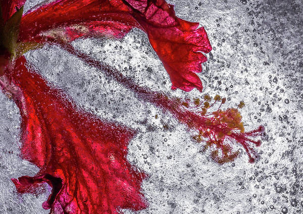 Hibiscus Photograph - Hibiscus Freeze by Linda Oliver