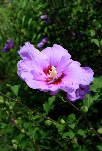 Photograph - Hibiscus In Pink by Karen Harrison