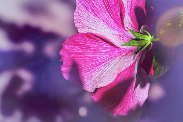 Mallow Family Wall Art - Photograph - Hibiscus In The Shadows by Kay Brewer