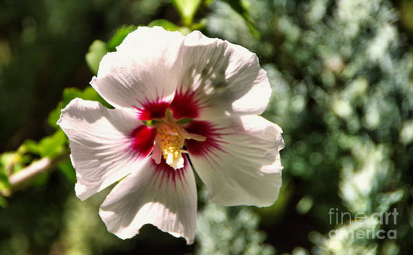 Wall Art - Photograph - Hibiscus by Jeff Swan