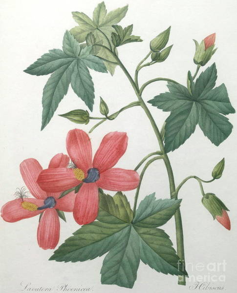 Wall Art - Painting - Hibiscus by Pierre Joseph Redoute