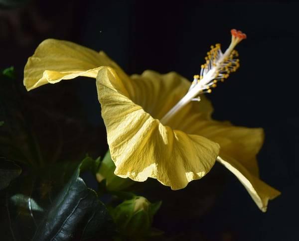 Photograph - Hibiscus by R  Allen Swezey