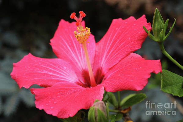 Hibiscus Flower Painting - Hibiscus Red Flower by Corey Ford